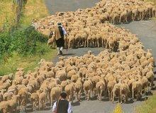 Pastores conduciendo un rebaño de ovejas
