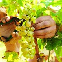 Recogida de la uva para el vino de La Palma