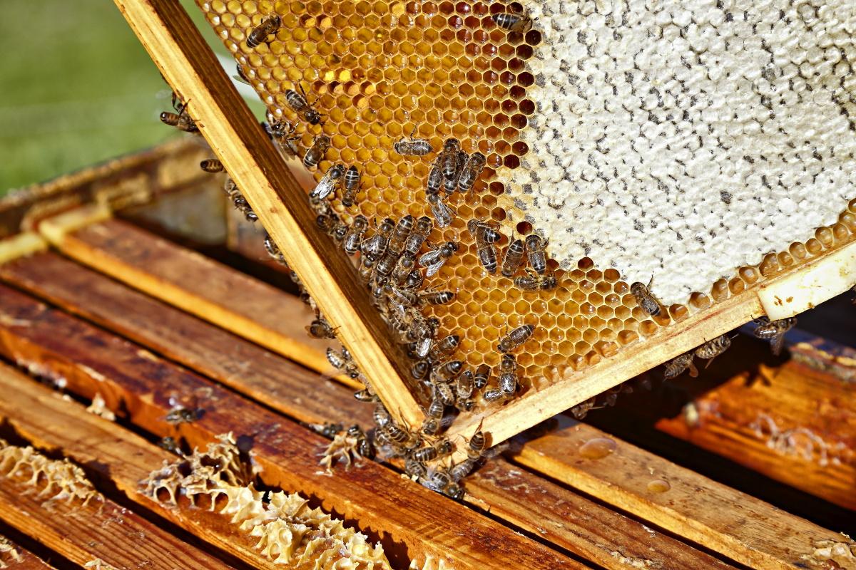 Miel de Liébana (Colmenares de Vendejo). Panal de abejas (2). Foto: Roberto Ranero