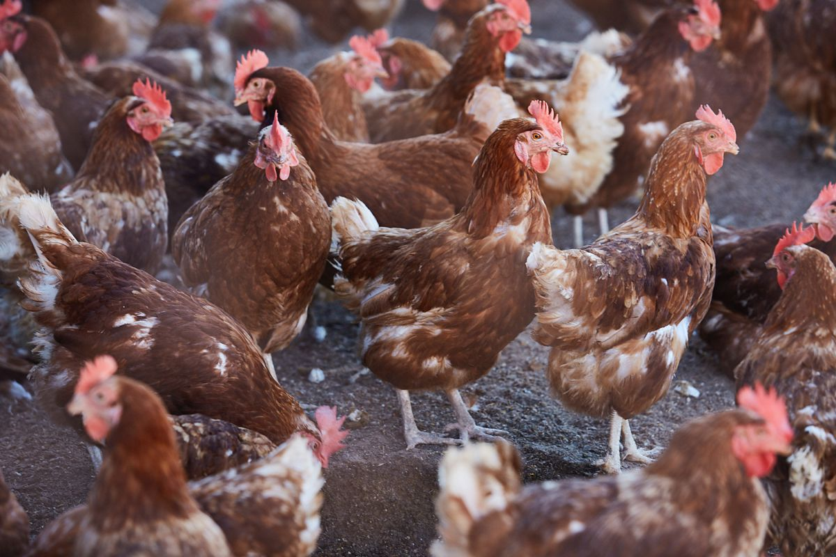 Las gallinas de Fracua. Foto: Yoana Salvador