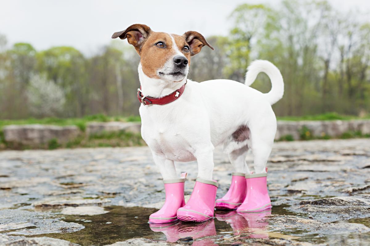 perro con botas de agua
