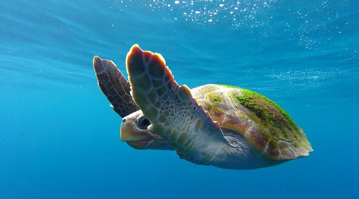 La tortuga boba. Foto: Cedida