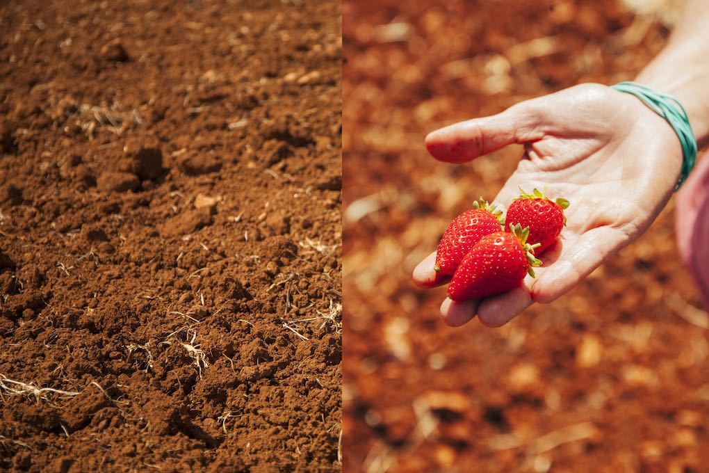 La tierra y las fresas ecológicas. Foto: Antonio Xoubanova