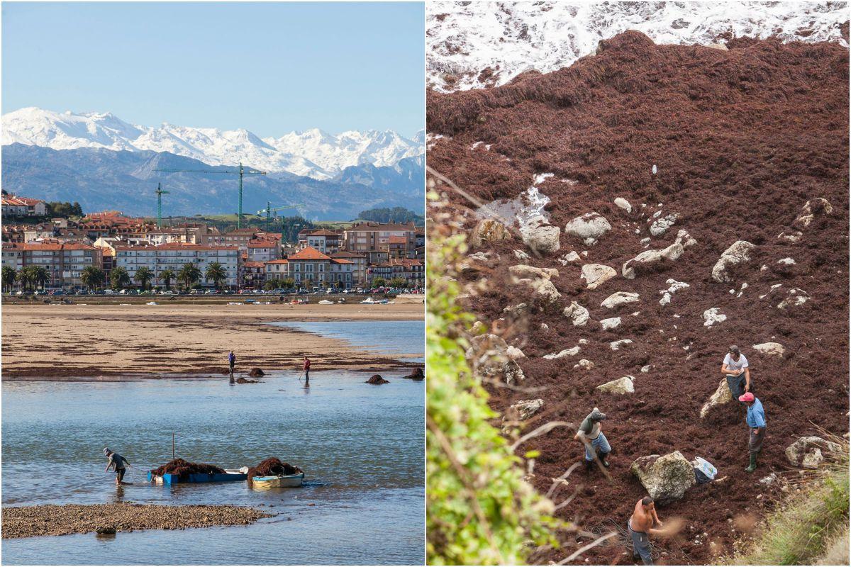 Las algas, en la costa de San Vicente de la Barquera. Fotos: José García