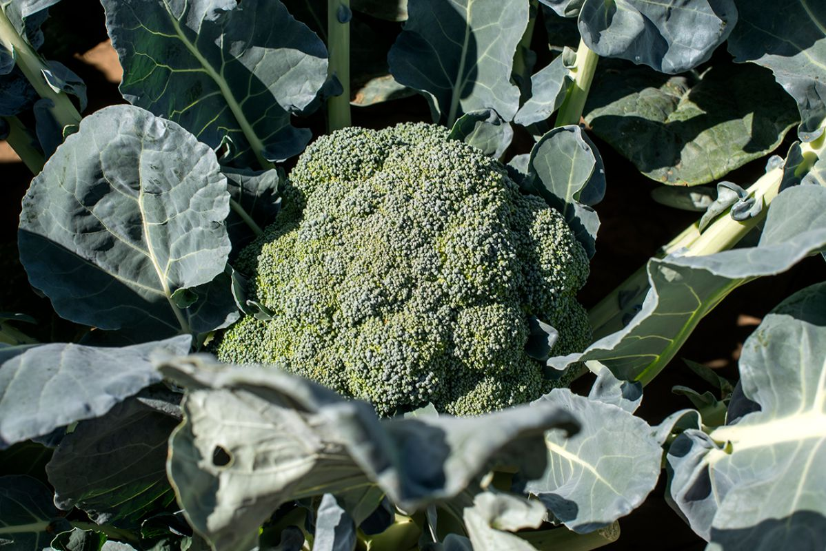 La mata de brócoli, la estrella de las coles. Foto: Alfredo Cáliz