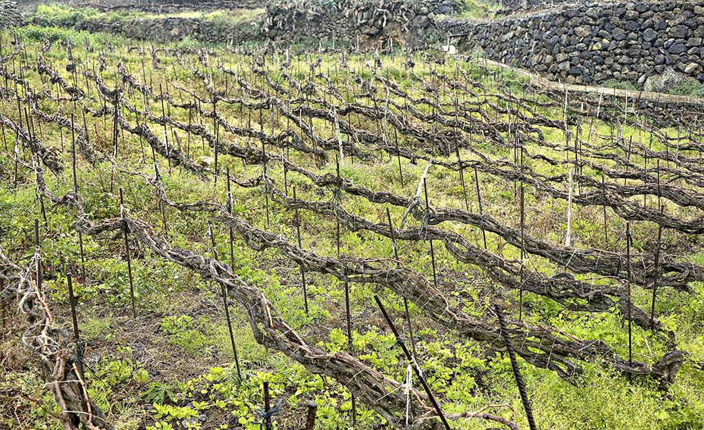Vinos de Tenerife: Suerte del Marqués viñas. Foto: Roberto Ranero