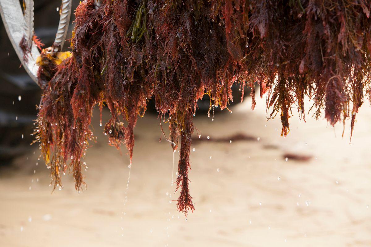 El alga Gelidium. Foto: José García