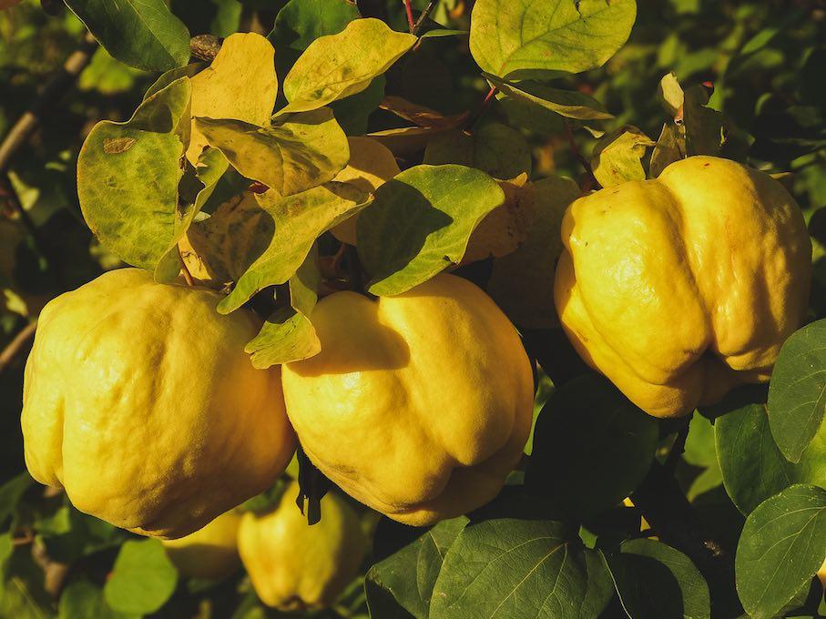 Fruto del membrillo