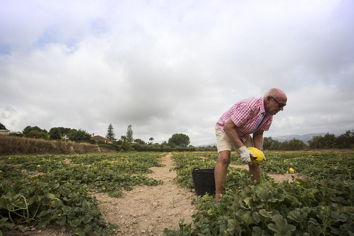 Melón de Ontinyent 'Diamante': recogida de melones en el campo (3). Foto: Eva Mañez