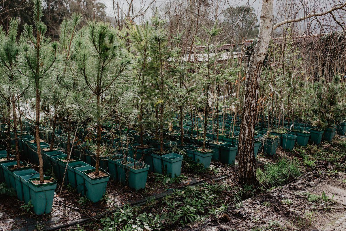 Castaños listos para ser plantados. Foto: Nuria Sambade