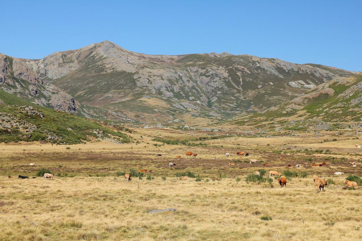 Vacas a los pies de Peña Trevinca. Foto: Shutterstock