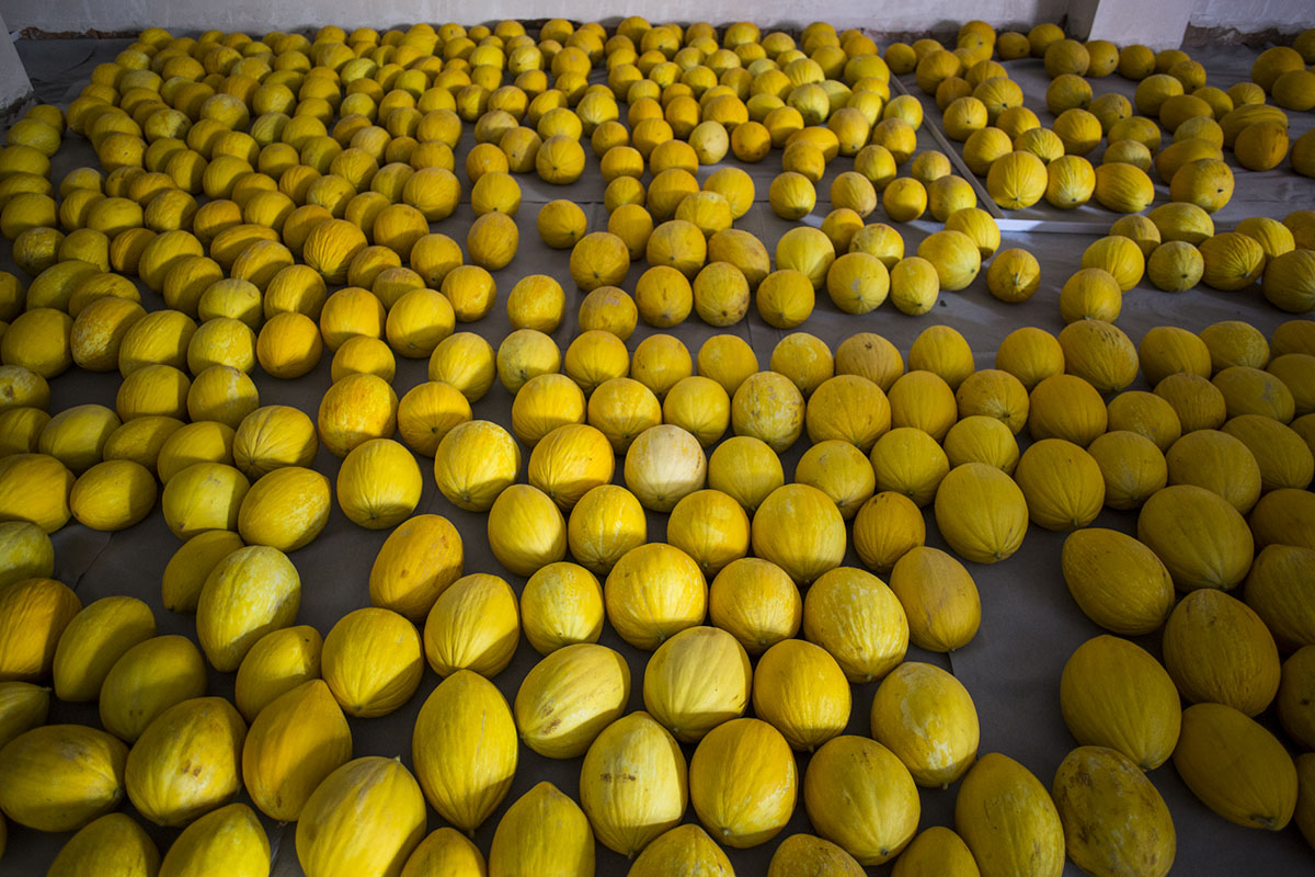 Melón de Ontinyent 'Diamante': melones almacenados. Foto: Eva Mañez