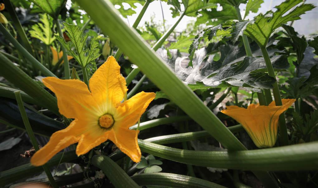 Flor de calabaza karabeleko