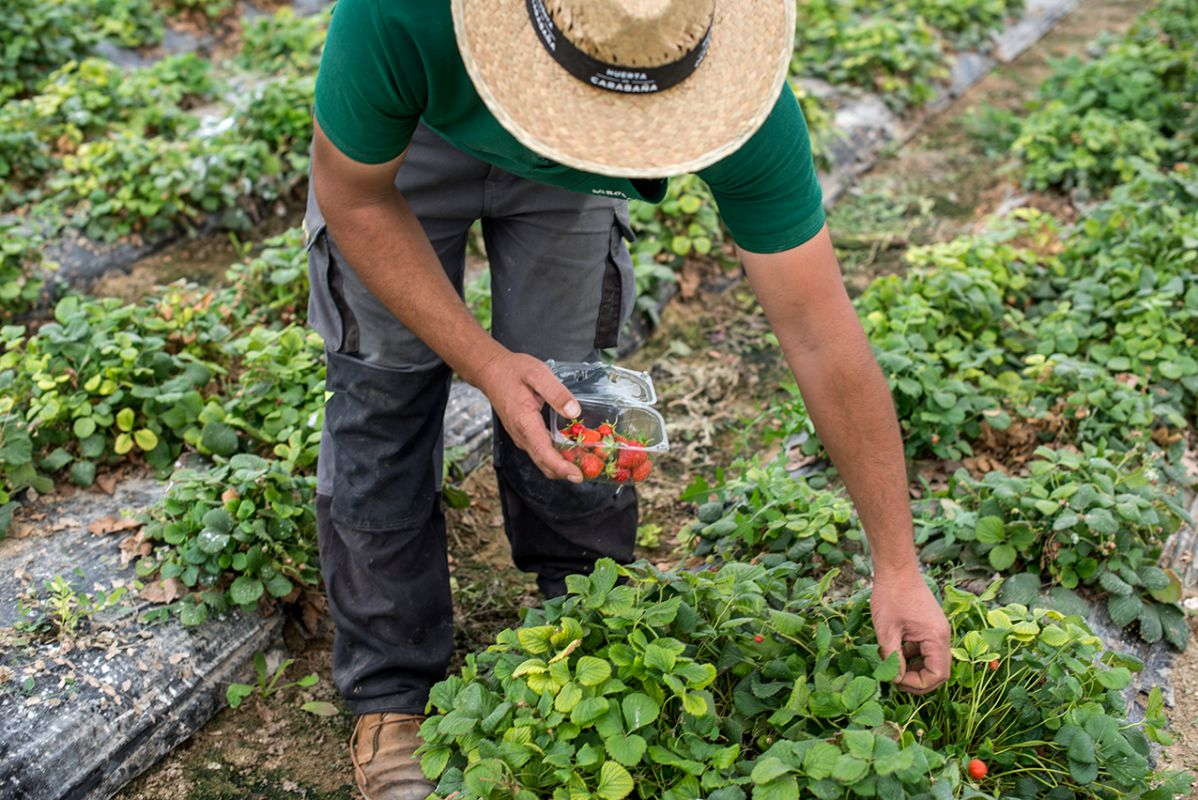 Recolectando fresas en la huerta de Carabaña. Foto: Alfredo Cáliz