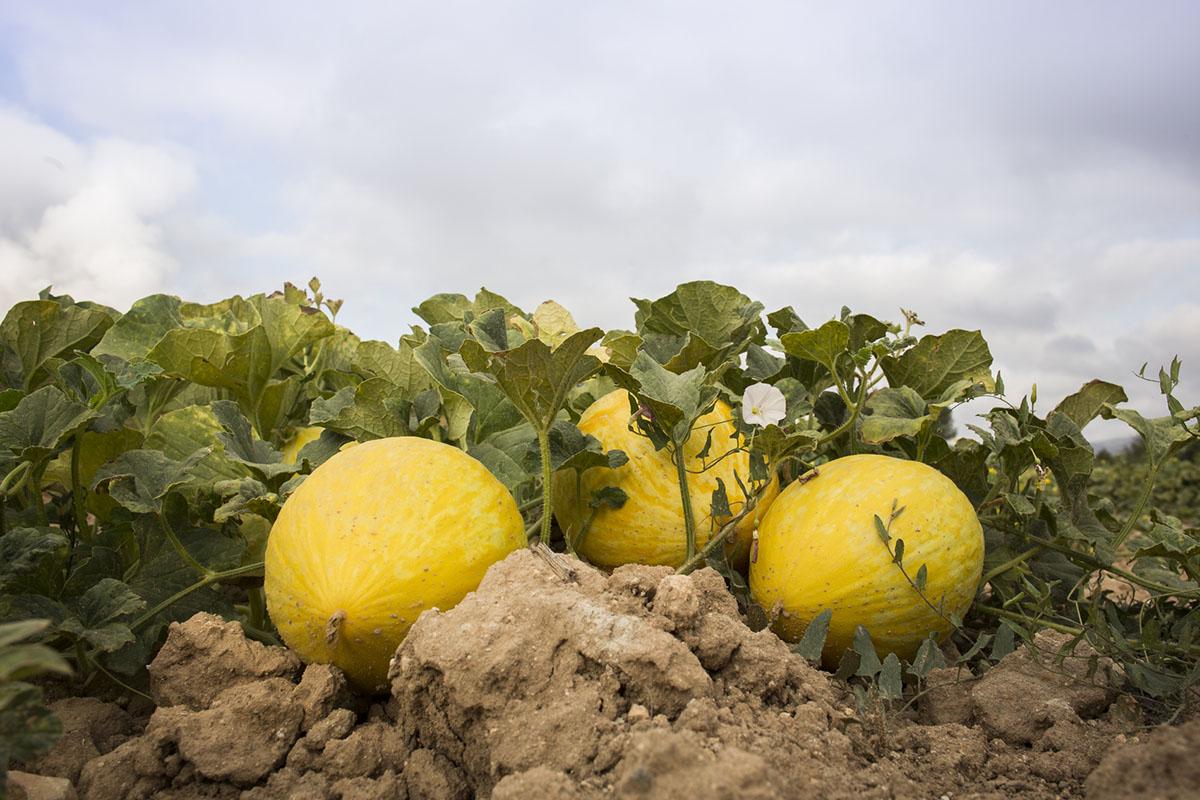 Melón de Ontinyent 'Diamante': melones (4). Foto: Eva Mañez