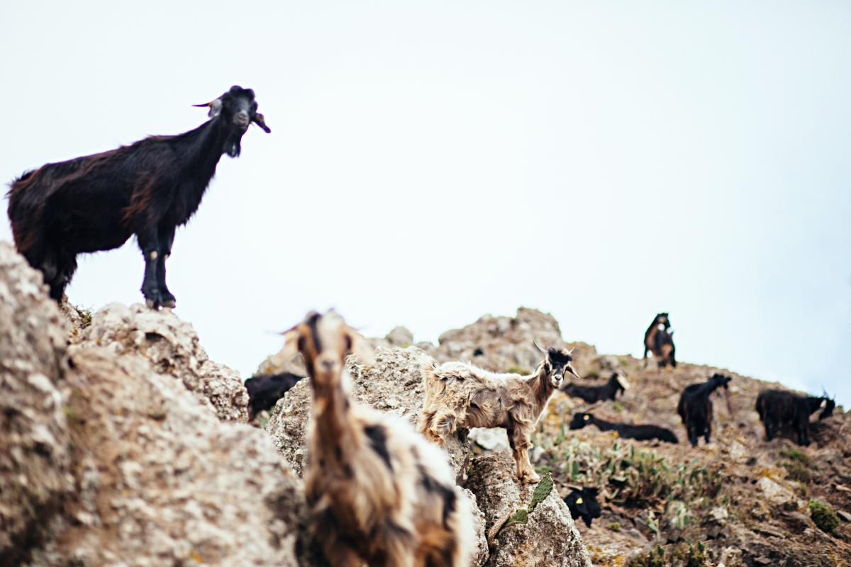 Cabras en Anaga