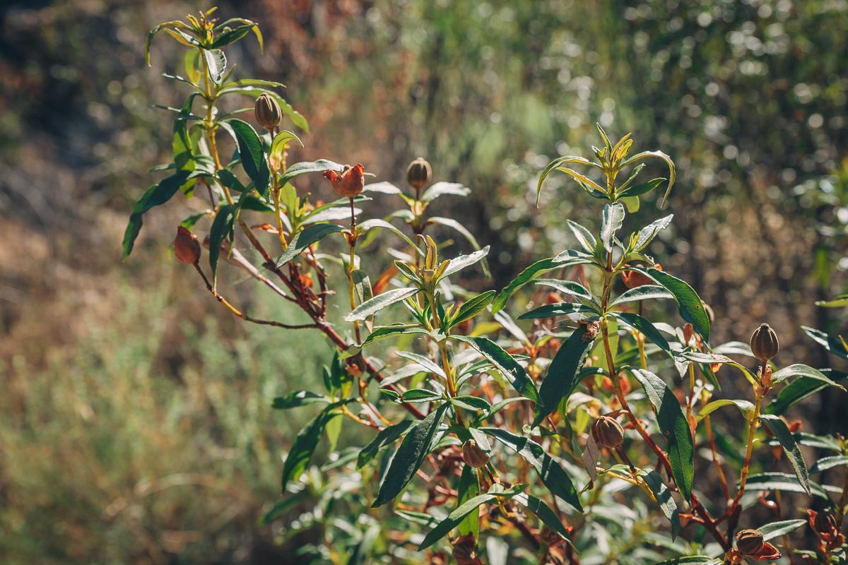 Detalle de la jara pringosa, que crece salvaje en el parque natural. Foto: Javier Sierra