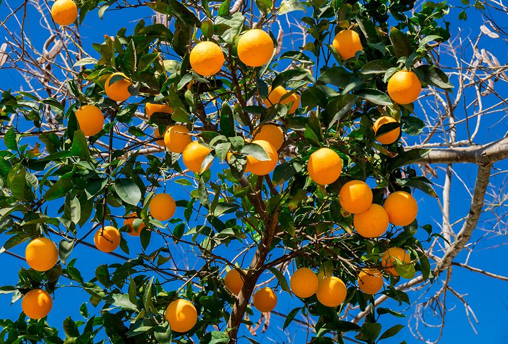 Un naranjo