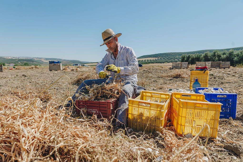 Rafael cortndo la raíz y el tallo. Foto: Javier Sierra