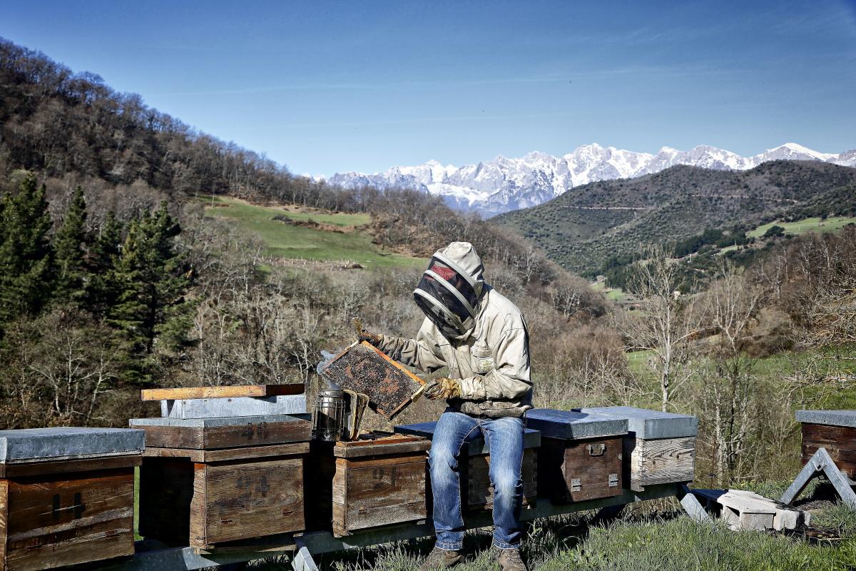 Miel de Liébana (Colmenares de Vendejo). Apicultor y colmenas. Foto: Roberto Ranero