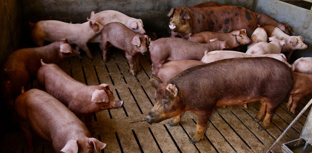 Cerdos duroc e ibérico
