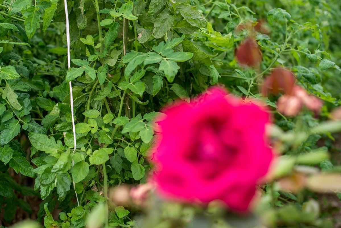 Una rosa abierta en la huerta de Carabaña. Foto: Alfredo Cáliz