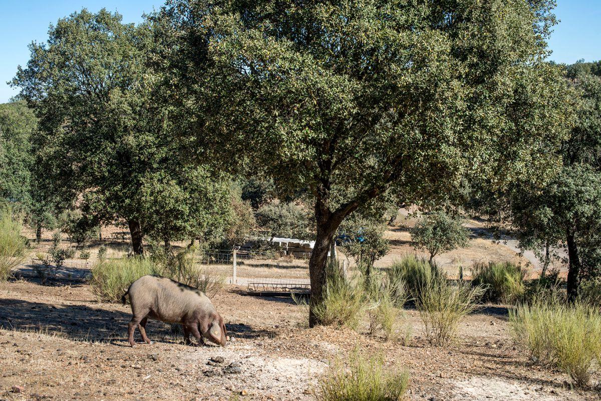 Los cerdos ibéricos en la dehesa. Foto: Alfredo Cáliz