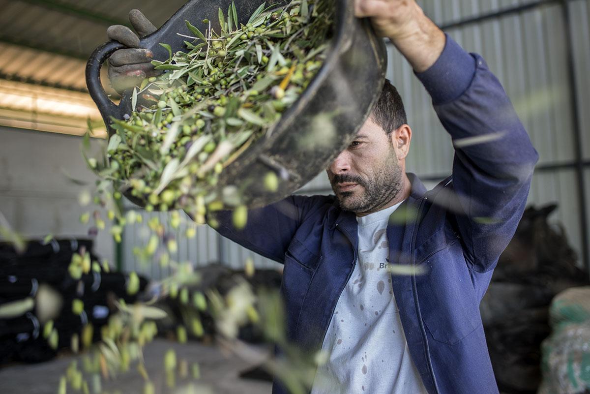 Un operario avienta las acebuchinas en la almazara. Foto: Alfredo Cáliz