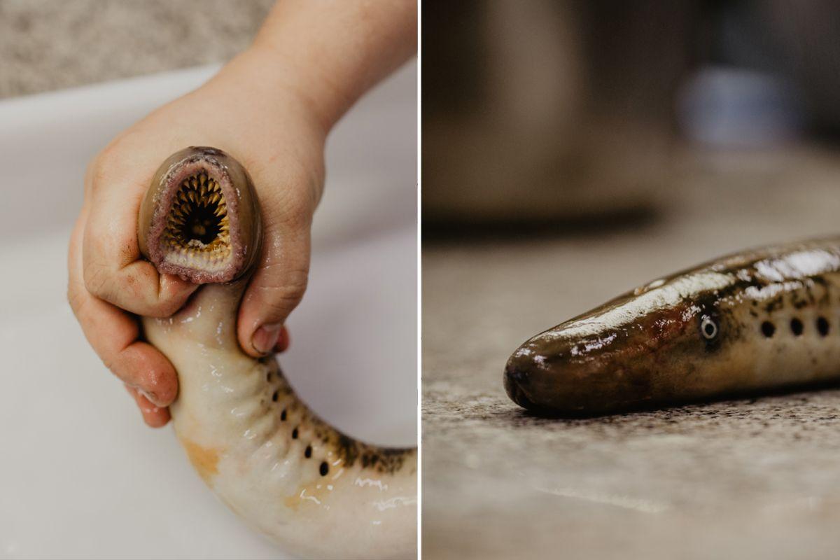 La boca de la lamprea, una ventosa que chupa sangre. Foto: Nuria Sambade