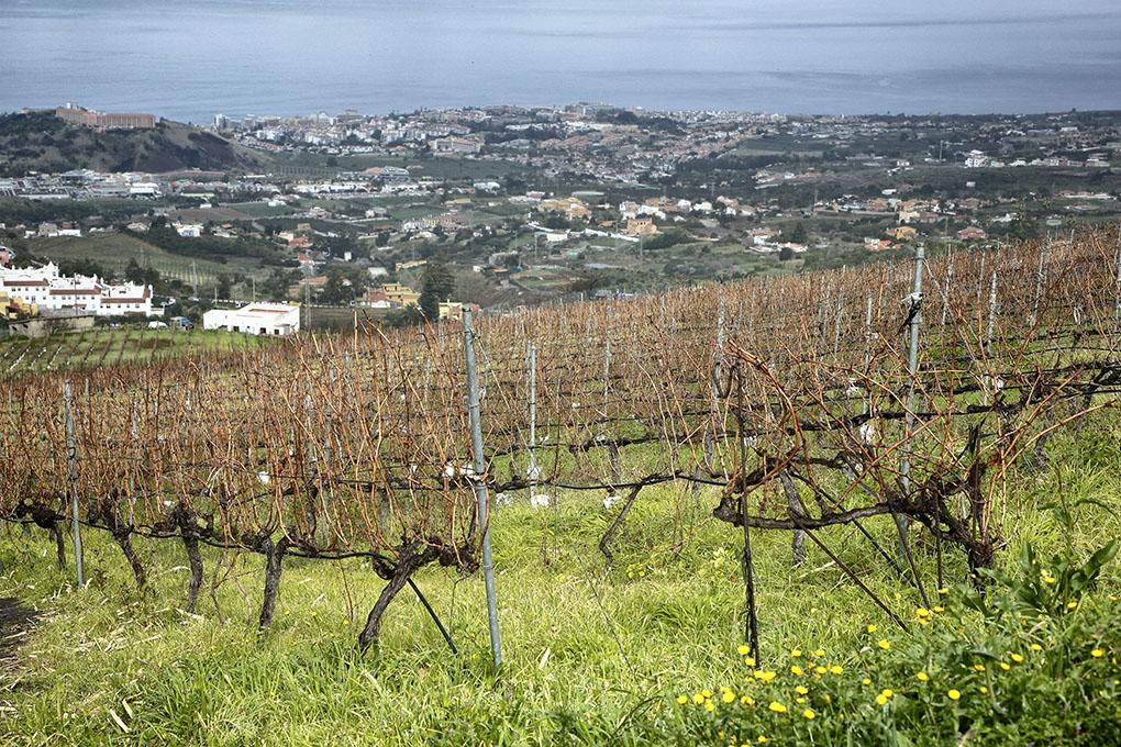 Vinos de Tenerife: Viñas de La Orotava. Foto: Roberto Ranero