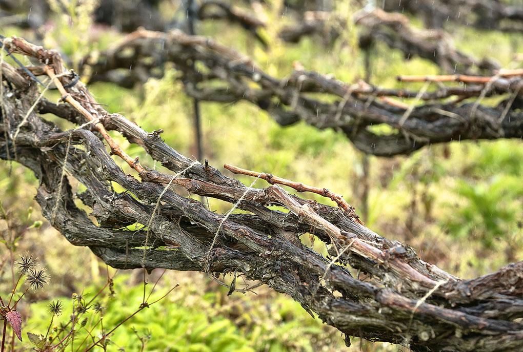 Vinos de Tenerife: Suerte del Marqués cordón trenzado. Foto: Roberto Ranero