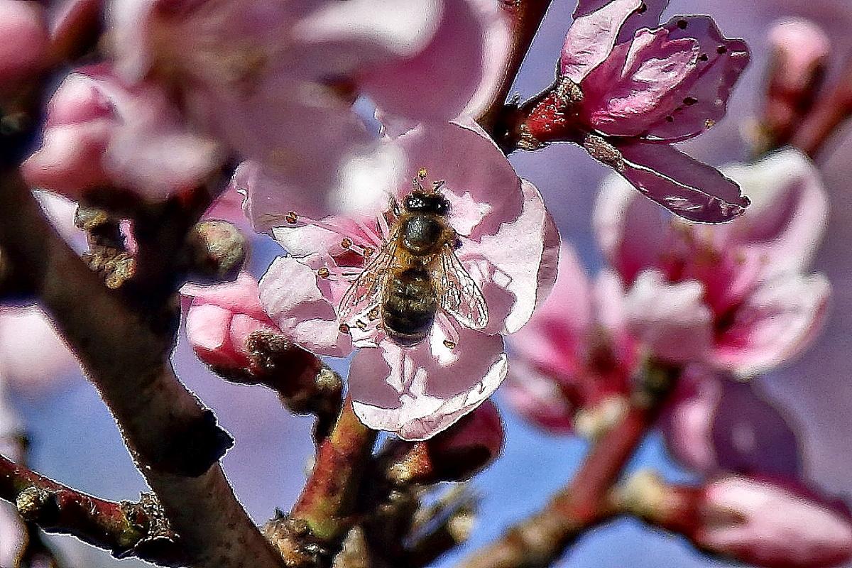 Miel de Liébana (Colmenares de Vendejo). Abeja en flor. Foto: Roberto Ranero