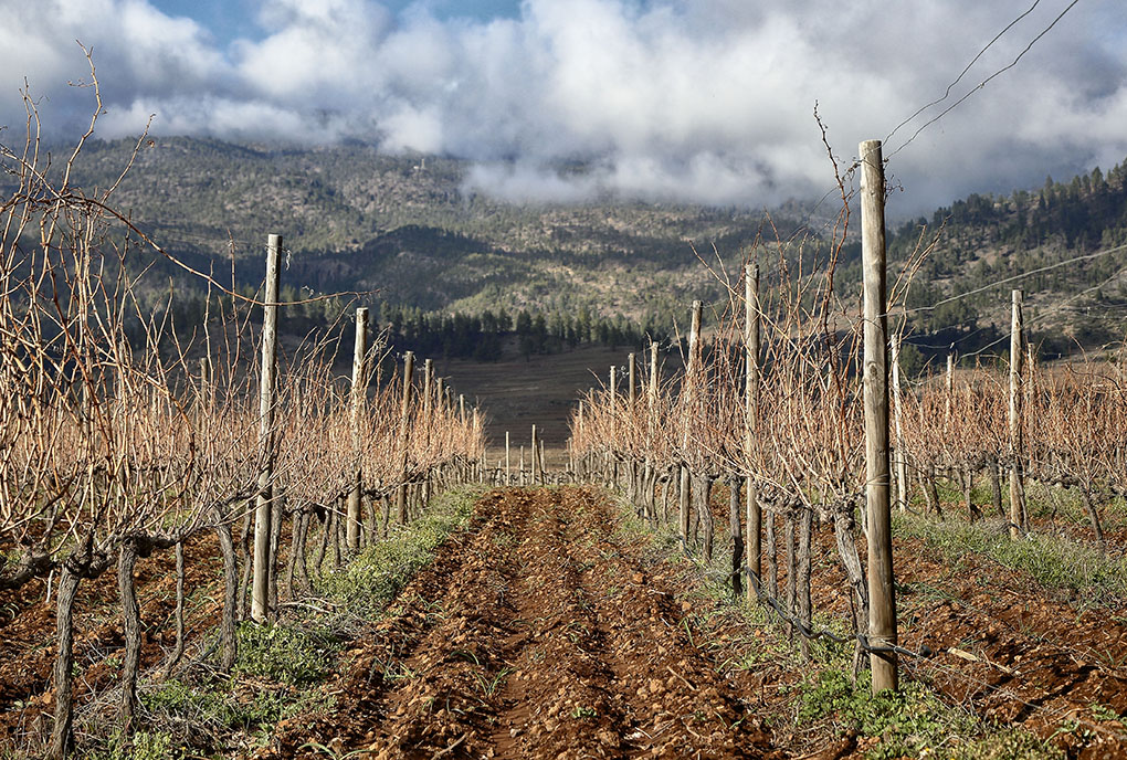 Altos de Trevejos: viñas a los pies del Teide. Foto: Roberto Ranero
