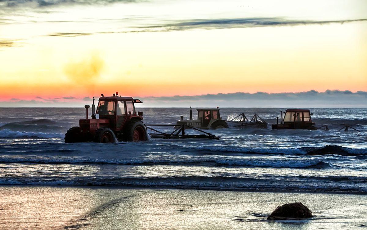 Los tractores se sumergen en el mar para extraer el alga roja. Foto: José García