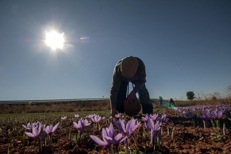 Recolección de azafrán en La Mancha