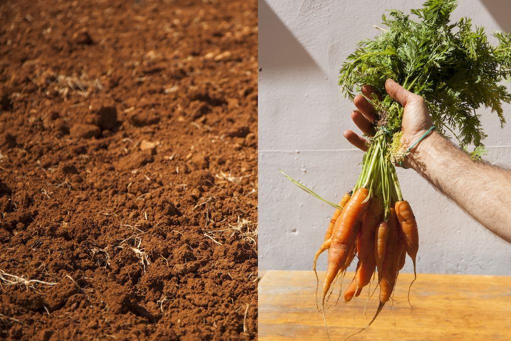 Zanahorias de Menorca. Foto: Antonio Xoubanova