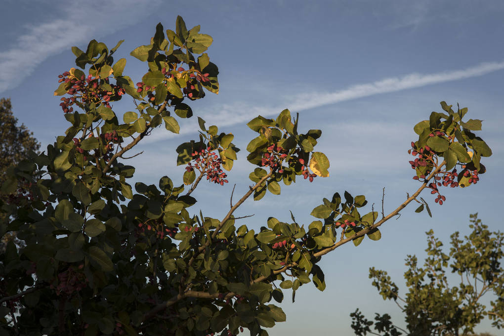 Pistachero larnaka en temporada de recogida