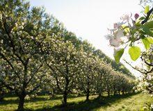 Cultivo de peras