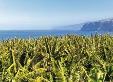 Plataneras en Gran Canaria