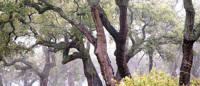 Alcornocales del Parque Natural Sierra de Aracena