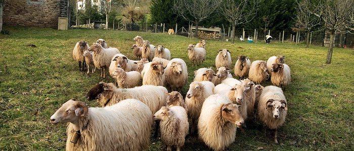 Rebaño de ovejas latxas