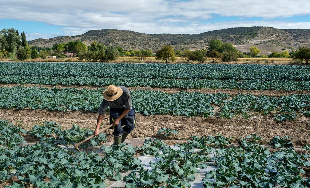 Roberto trabajando las plantas de brócoli en la huerta de Carabaña, en Madrid. Foto: Alfredo Cáliz