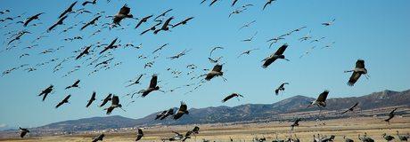 Colonia de grullas en Gallocanta. / CC Flickr Gobierno de Aragón
