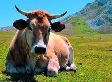 Vaca asturiana en la zona de pastos de La Foz de Morcín