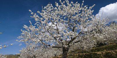 Cerezo en flor. (Imagen cedida por Ángel Vicente Simón Tejeiro. Oficina de Turismo del Valle del Jerte).