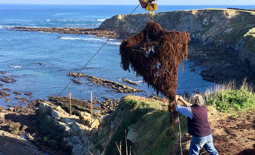 Puntales en los acantilados extrayendo algas en San Vicente de la Barquera (Cantabria). Foto: Guillermo Calvo