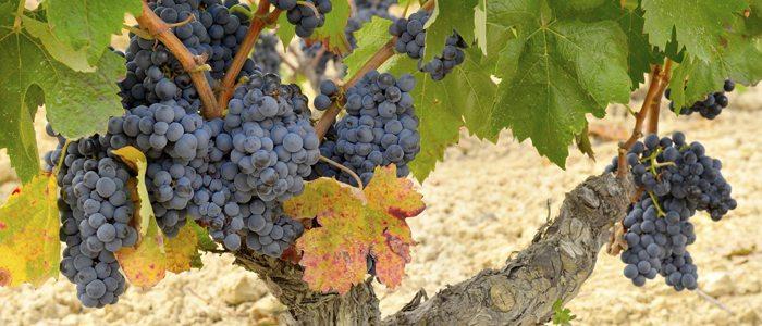Uva de la variedad Tempranillo