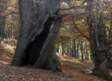 Castaños en el bosque de El Tiemblo