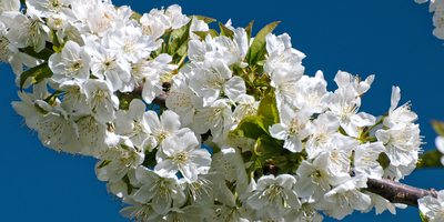 Cherry blossom (Photo courtesy of Ángel Vicente Simón Tejeiro. Jerte Valley Tourist Office).