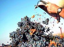 Vendimia de la uva garnacha